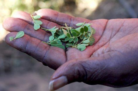 Benefícios para saúde da Moringa na redução da inflamação